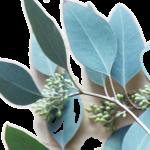 eucalyptus 3