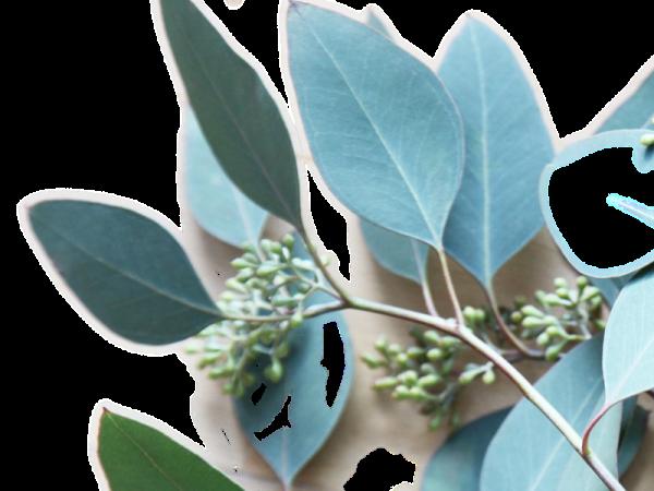 eucalyptus 3 e1604603961882