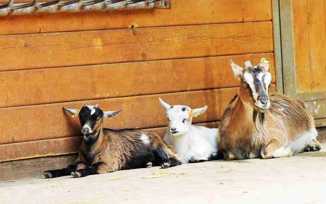 When You Don't Have That 'Rescue Goat With Anxiety Who Only Calms Down In Her Duck Costume': Here's Some Terrific Ideas on What To Do Instead